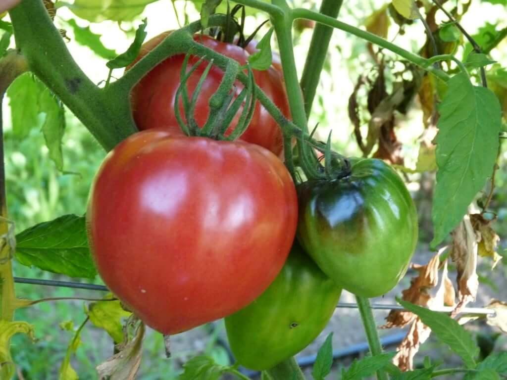 Tomate coeur de boeuf rose EPE 140828 2